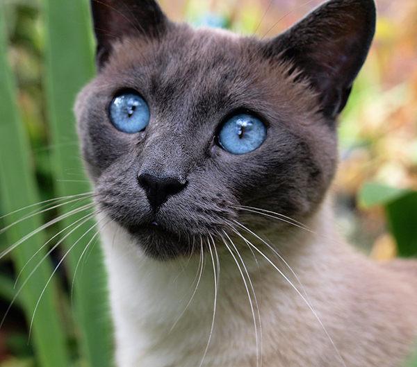 gato tonkinés