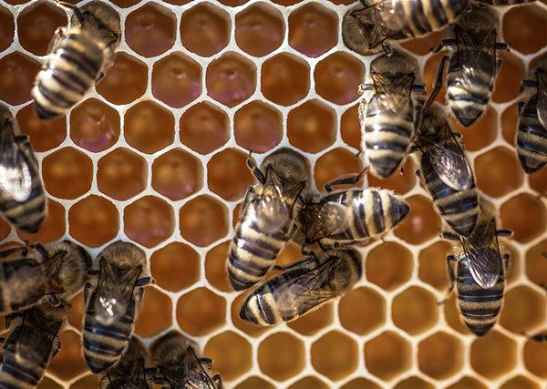 colmena de abejas por dentro