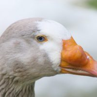 los patos tienen dientes