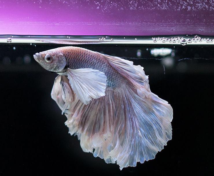 peces compatibles con betta