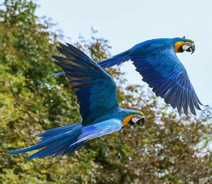 papagayos azules volando