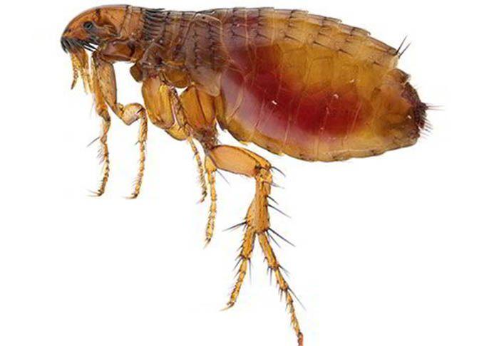 pulgas en casa