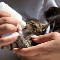 cuándo se destetan los gatitos