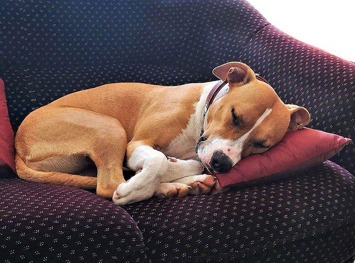 perra en celo duerme mucho