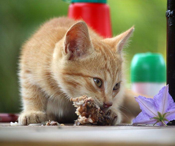 que comen los gatos pequeños