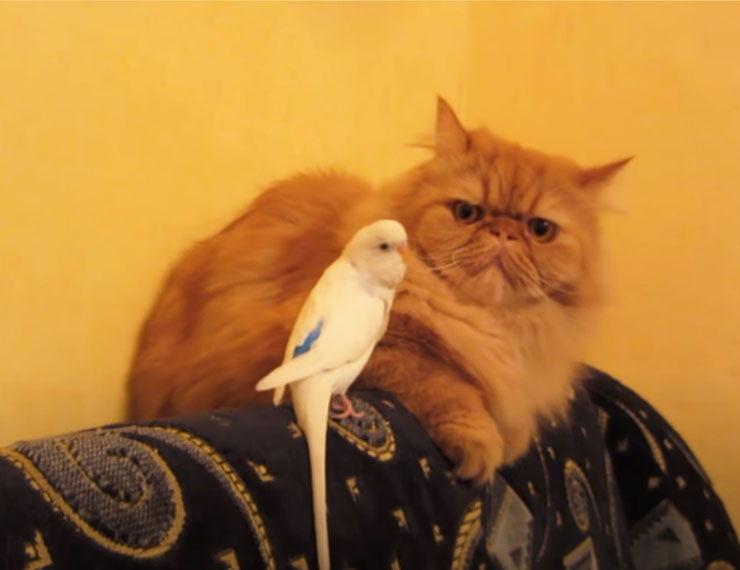 periquito ataca gato video