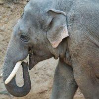 qué comen los elefantes