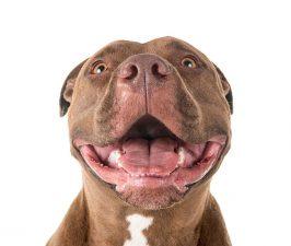 Pitbull (American pitbull terrier)