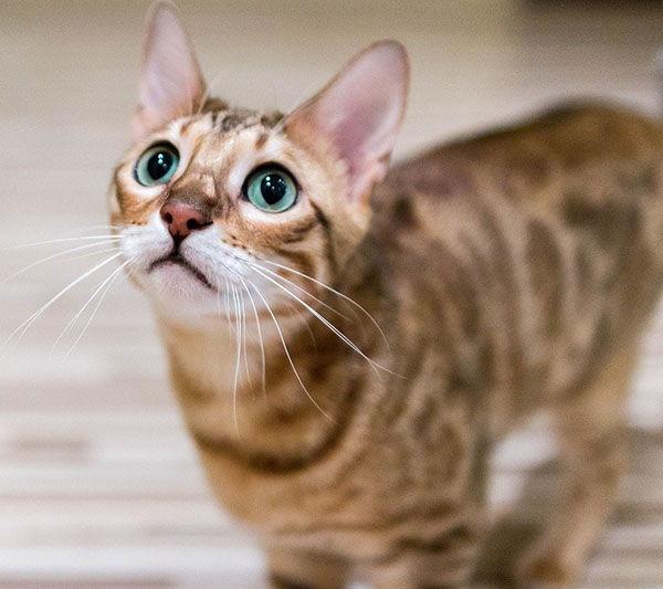 características del gato bengalí