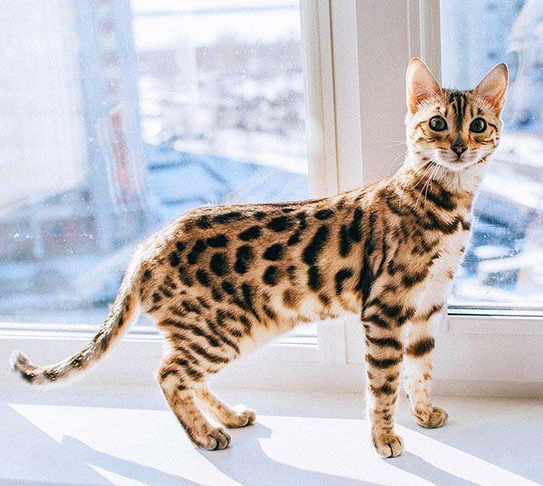 curiosidades gato bengali