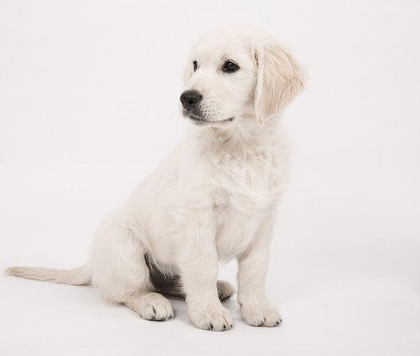 cachorro golden crema