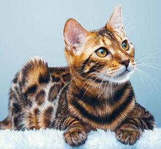 nombre para una gata bengali