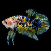 tipos de peces betta y cuidados