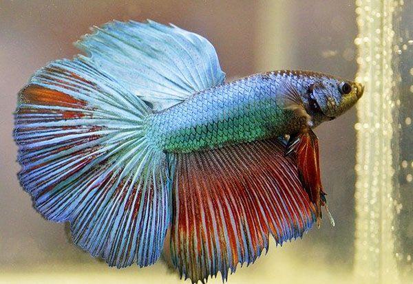 pez betta macho y hembra