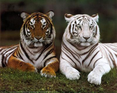 Diferencias entre tigres naranjas o atigrados y blancos o albinos