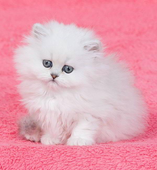 gato persa chinchilla blanco ojos azules