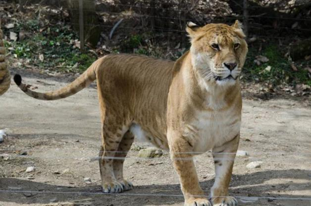 tigon animal hembra