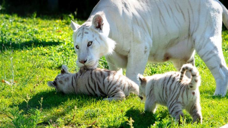 Crías de tigre blanco