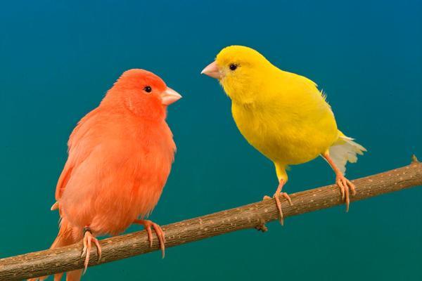 colores canarios
