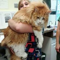 gatos gigantes