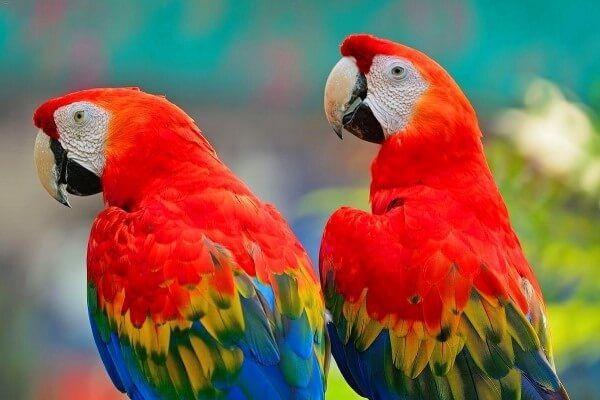 Guacamayo rojo y amarillo