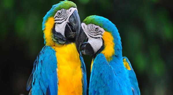 Guacamayos azul