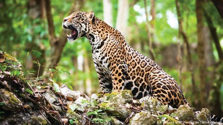 jaguar-rugiendo