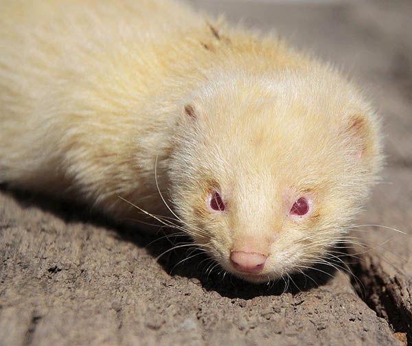 huron albino