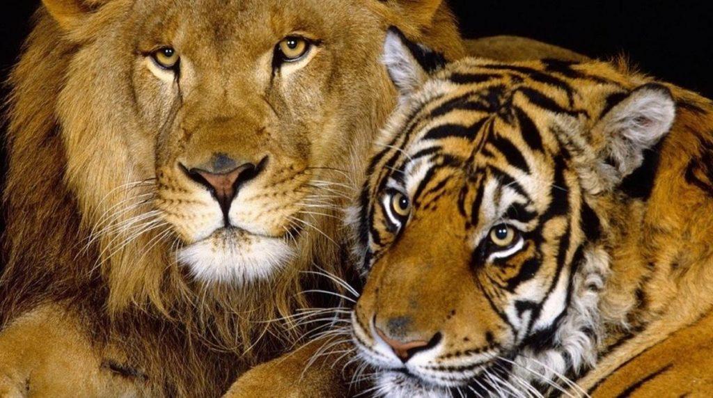 cruce entre león y tigre