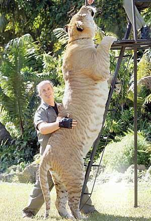 liger felino