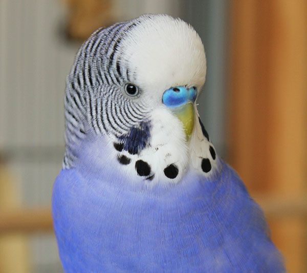 periquito azul macho