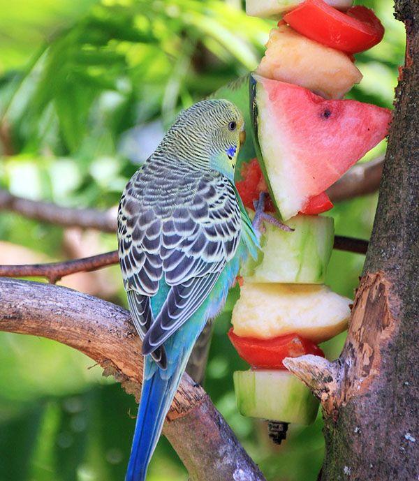 que fruta comen los periquitos