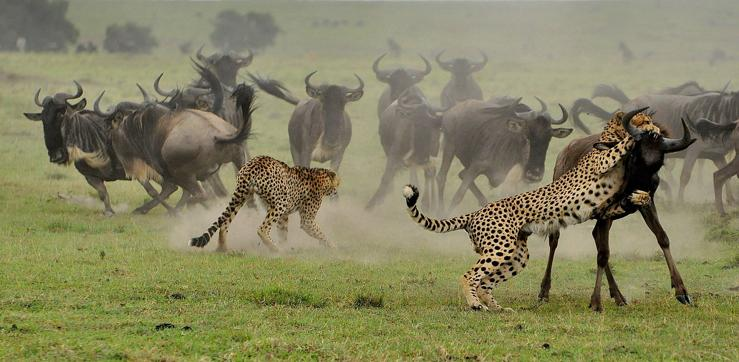 que come el guepardo