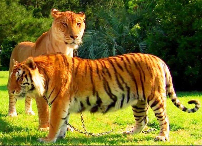 ligre hembra y tigresa