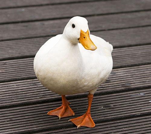 nombres para patos hembra