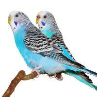 periquitos azules pareja