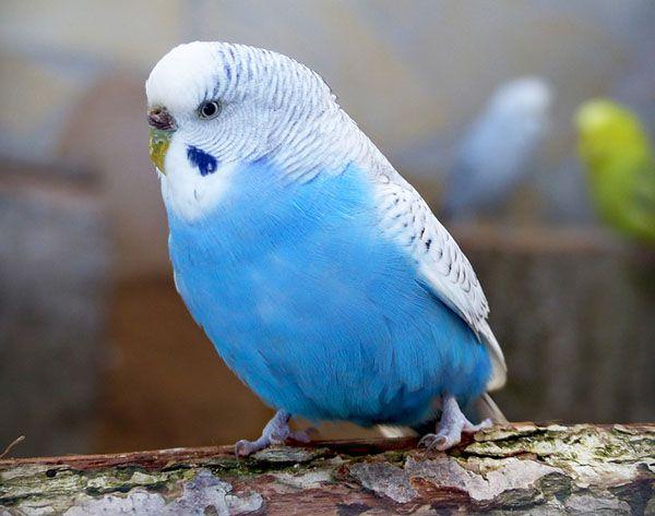 periquito azul hembra