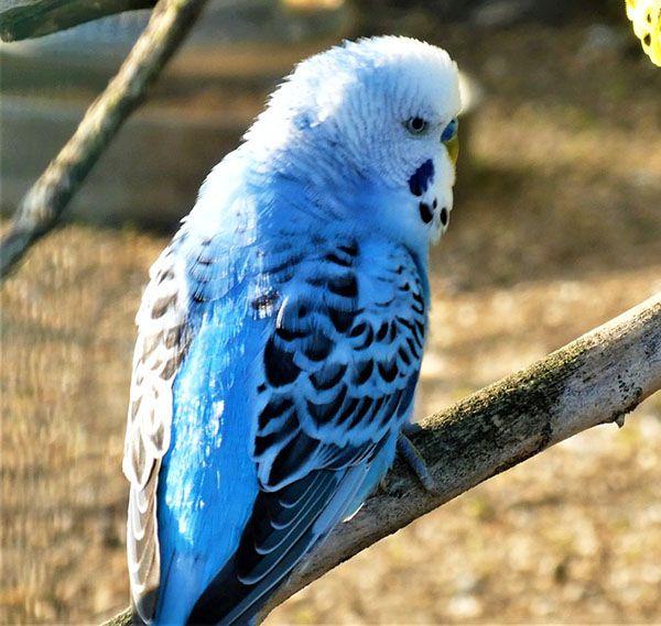 periquito opalino azul