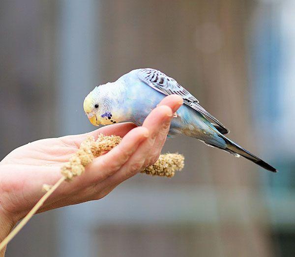 que comen los periquitos azules