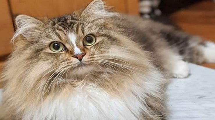 gato ragamuffin