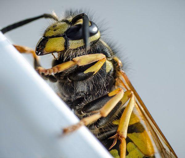 insectos omnivoros