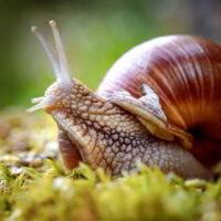 animales hermafroditas caracol