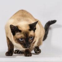 nombres para gato siames